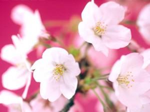 noritaka noda cherry blossoms